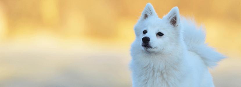 Japanse honden